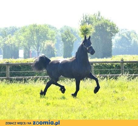 3 roczniak młody żeński koń pr