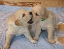 Hodowla Psów Rasowych GOLDEN DOG