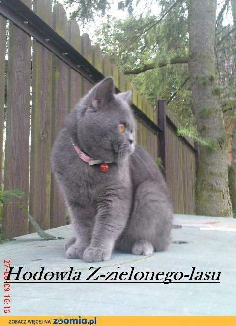 Nowość Z-Zielonego-lasu « Brytyjski Niebieski « Hodowla kotów IC84