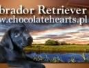 Hodowla Psów Rasowych Labrador
