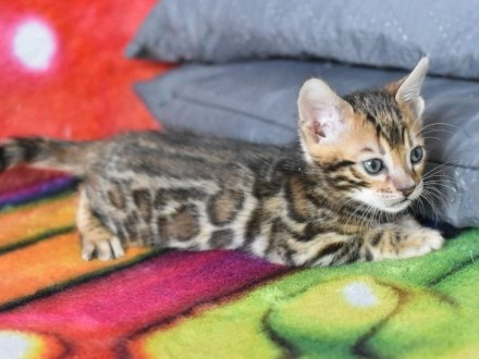 Kot bengalski Archi  koty bengalskie  kocięta hodowla Aeni Bengal