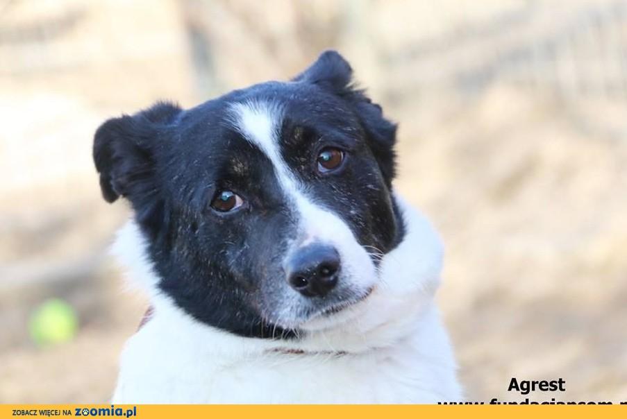 Agrest - starszy, miły pies