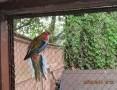 Sprzedam papugi faliste nimfy rozelle kanarki modrolotki