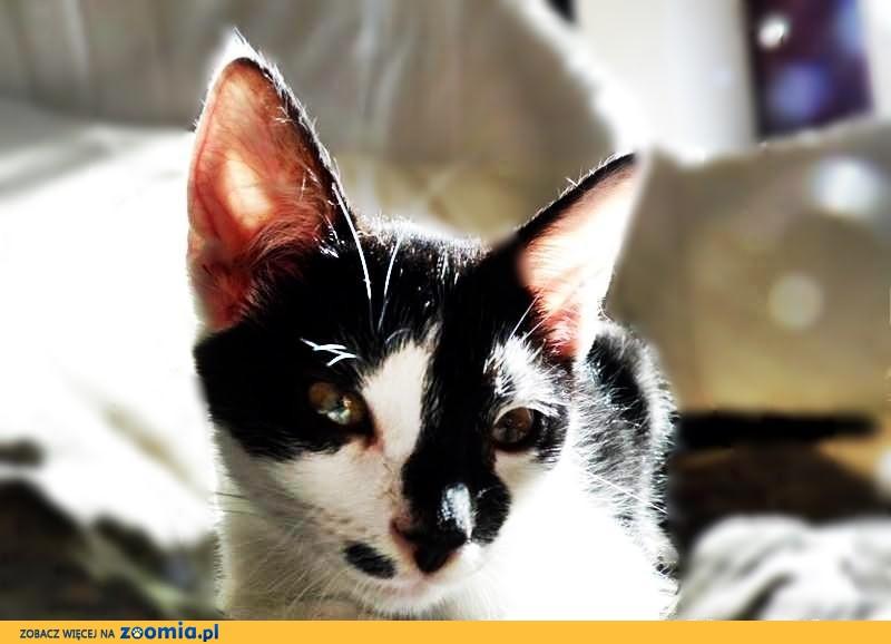 Kotki biało- czarne 3 miesięczne!