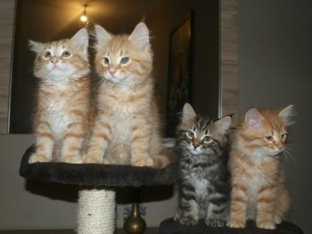 kotki syberyjskie z rodowodem FPL