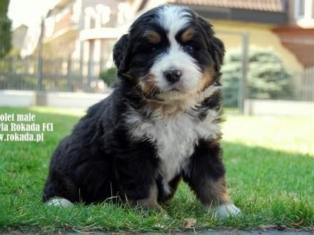 Berneński Pies Pasterski -Szczeniaczki z rodowodem ZKwP/FCI