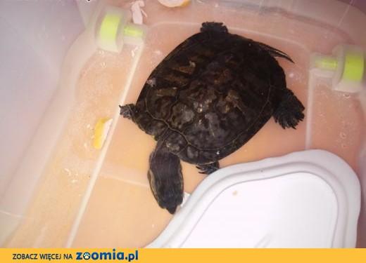 Oddam Żółwia Czerwonolicego,  pomorskie Prabuty