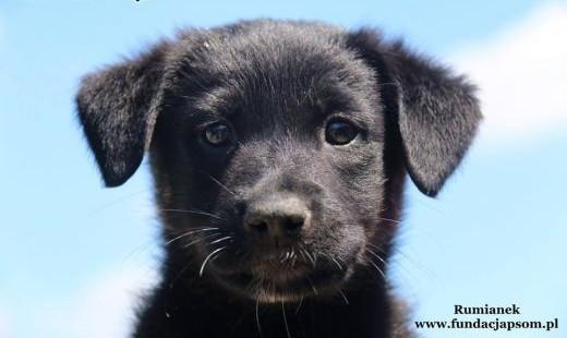 Ruminek - szczeniak szuka domu   mazowieckie Nowy Dwór Mazowiecki
