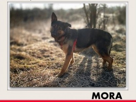 Owczarek mix 2lata aktywna łagodna sterylizowana suczka MORA dom z ogrodem   mazowieckie Warszawa