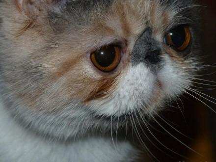 egzotyczna dziewczynka dilyut Calico 6 miesięcy