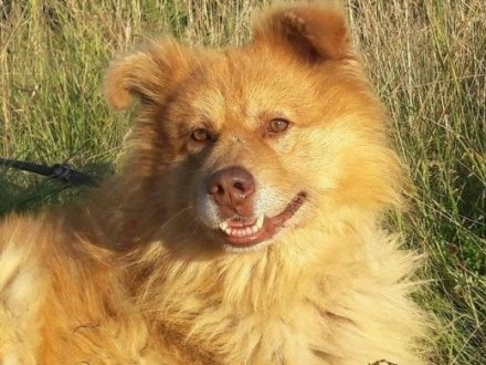 ORZECH piękny pies prawie miś łagodny  sympatyczny szuka DOMU   mazowieckie Warszawa