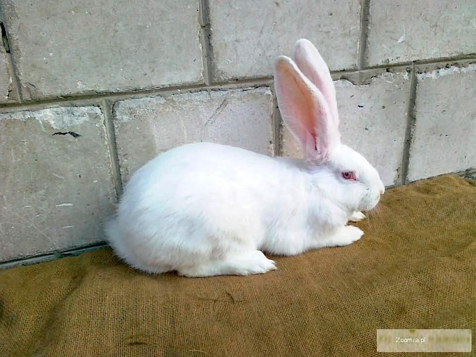 Sprzedam króliki BOB