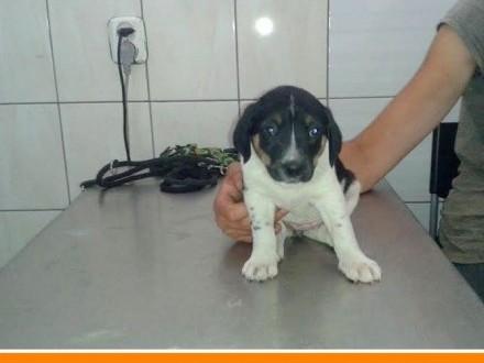 2 miesięczna słodka , czarno-biała, przytulaśna suczka_Adopcja_