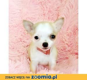 Mała zgrabna suczka Chihuahua