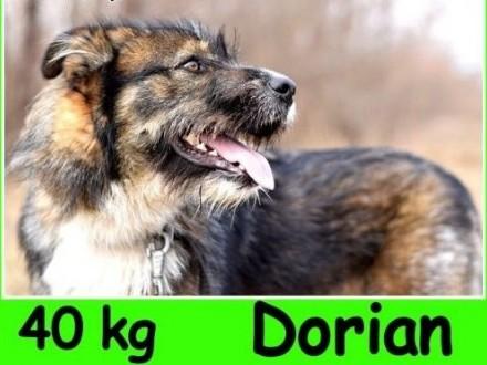 Owczarek pikardyjski mix  40 kg bystry  pozytywny psiak DORIANAdopcja   dolnośląskie Wrocław
