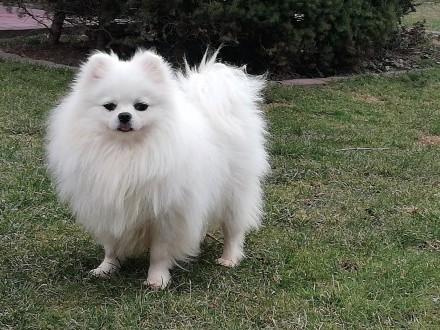Szpic Pomeranian BOO