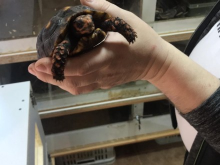 Żółwie żabiuti para żółty i czerwony