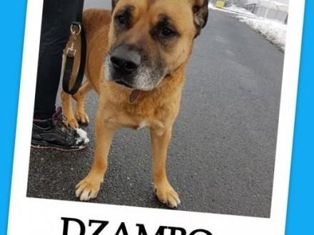 DŻAMBO duży smutny pies w typie amstaffa łagodny zaszczepiony 8 letniAdopcja   małopolskie Kraków