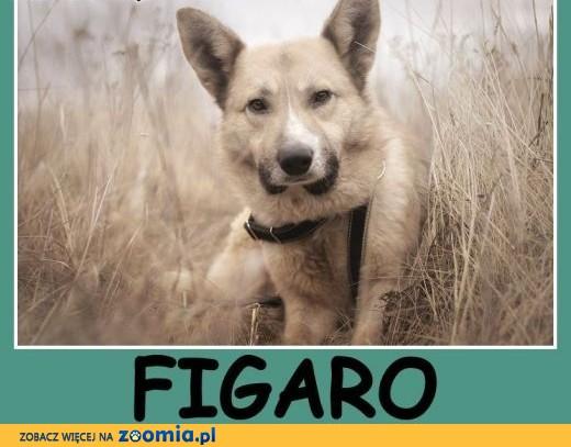 1,5 roczny, średni 18 kg ,do domu z ogródkiem, pies FIGARO.Adopcja.,  wielkopolskie Poznań