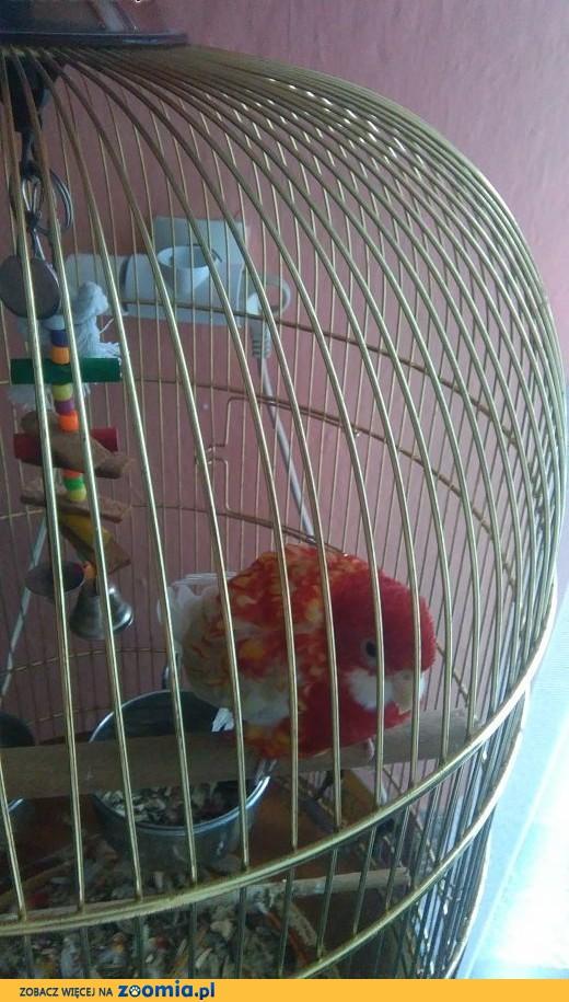 Papuga Rozela Białolica rubino,  warmińsko-mazurskie Kętrzyn