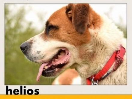 50kg bernardyn mix młody przyjazny pies HELIOSAdopcja   śląskie Katowice