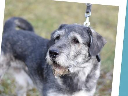 Sznaucer mix  40 kg  odważny dla doświadczonych pies GREY_Adopcja_