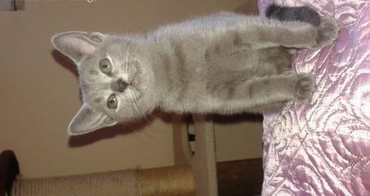 z rodowodem kociaki rosyjski niebieski,  mazowieckie Mińsk Mazowiecki