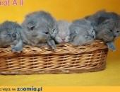 Śliczne Kocięta Brytyjskie z Rodowodem,  wielkopolskie Leszno