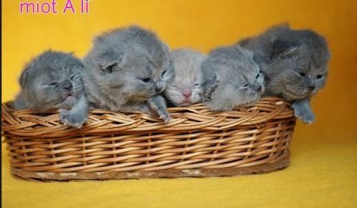 Śliczne Kocięta Brytyjskie z Rodowodem   wielkopolskie Leszno