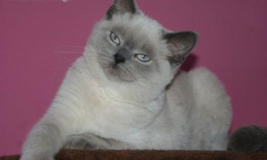 Brytyjskie Kociaki Cudowne !!!!   Koty brytyjskie cała Polska