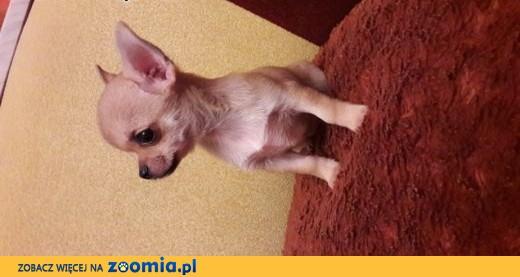 Chihuahua mini,  śląskie Częstochowa