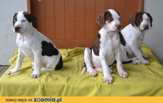 louisiana leopard dog catahoula � amazing puppies with