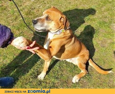 BOSS - piękny, wpatrzony w człowieka psiak szuka domu!,  małopolskie Kraków