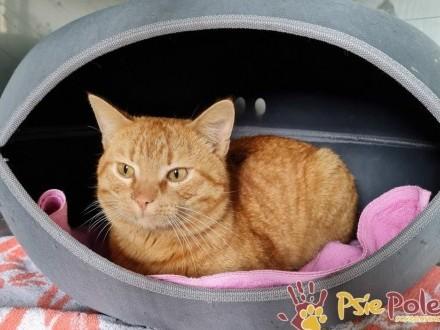 ORANŻ-superaśny i piękny rudasek szuka kochającego domu  adopcja