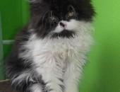 Sprzedam kociaki perskie