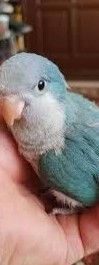 Papuga Mnicha nizinna ręcznie karmiona