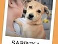 7 miesięczna,delikatna,przytulaśna,wrażliwa,mała sunia SABINKA.Adopcja.,  śląskie Katowice