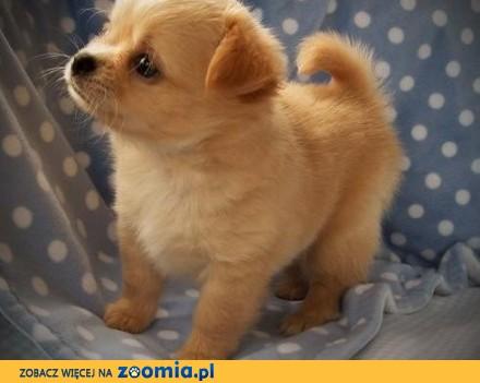 Chihuahua Szczenięta Do adopcji **