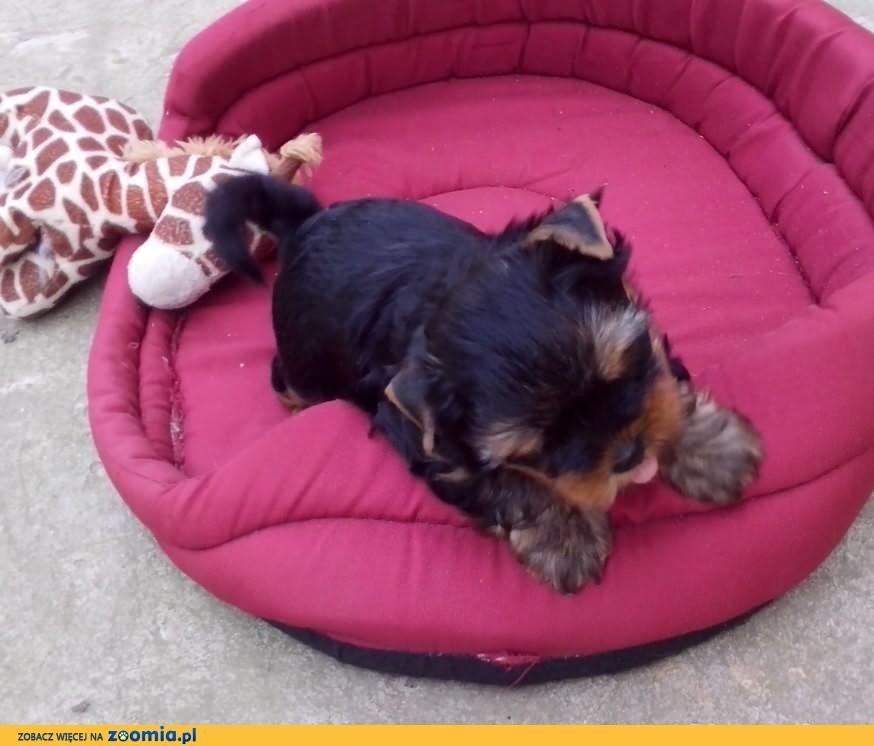York, yorki, yorkshire terrier, sunia, suka, miniaturka, mini