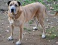 'MAFIN - duży, wesoły, świetny pies szuka dobrego domu,  mazowieckie Warszawa
