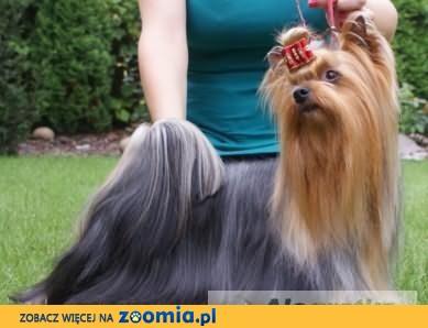 REPRODUKTOR Yorkshire Terrier z uprawnieniami ZKwP-FCI.