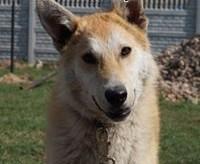GUCIO - ok 10miesięczny średniej wielkości psiak szuka dobrego domu!   mazowieckie Nasielsk