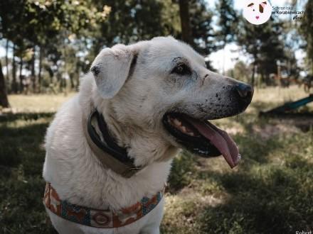 Pastel - prawie labrador szuka domu