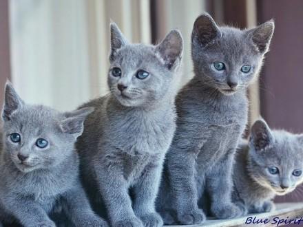 Koty  Kocięta Rosyjskie - Niebieskie z Rodowodami - GDYNIA