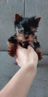 Yorkshire terrier miniaturka York Yorki