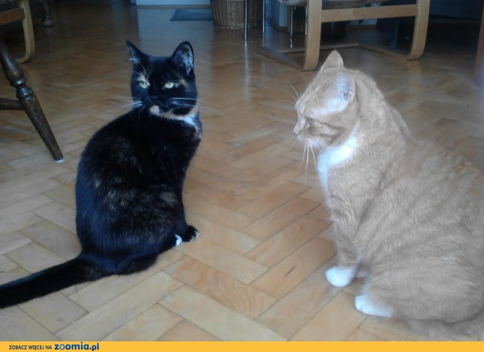 Oddam dwie kotki