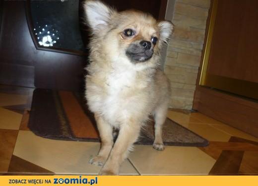 śliczny piesek rasy Chihuahua,  łódzkie Pabianice