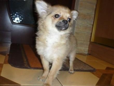 śliczny piesek rasy Chihuahua   łódzkie Pabianice
