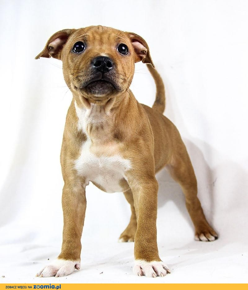 ruda suczka - staffik , staffordshire bull terrier - rodowód ZKwP