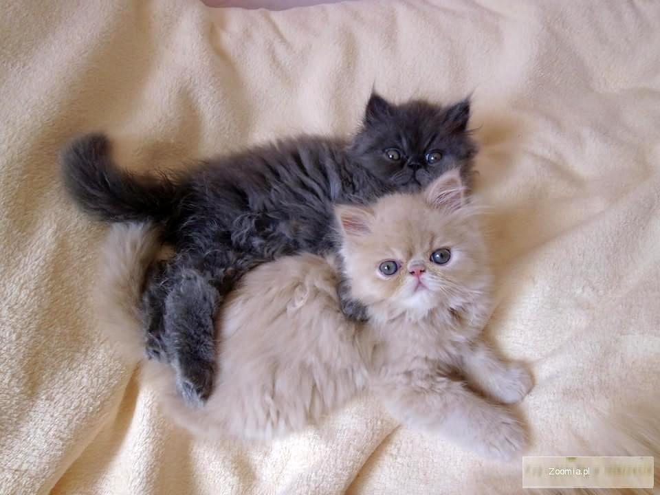 Wspaniały Kot Perski Cena Z Rodowodem XO04